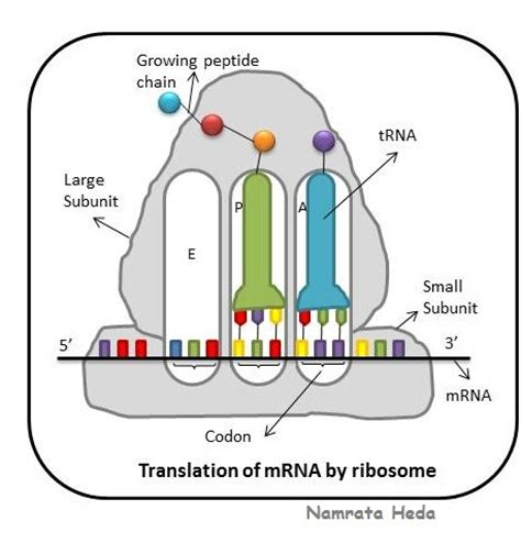 Cellular and molecular biology thesis